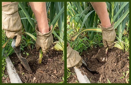 Loosen the soil around the roots and gently pull out of the ground